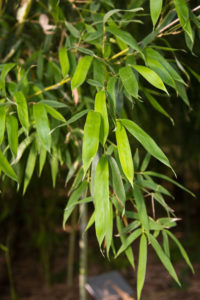 Ph-meyeri-leaves-D1271